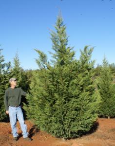 Leyland cypress mature size