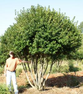 Burfordi holly tree form amp full